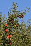 Δέντρο της Apple Στοκ Εικόνες