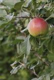 Δέντρο της Apple Στοκ φωτογραφία με δικαίωμα ελεύθερης χρήσης