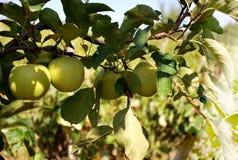 Δέντρο της Apple Στοκ φωτογραφίες με δικαίωμα ελεύθερης χρήσης