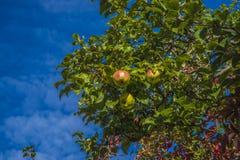 Δέντρο της Apple Στοκ εικόνα με δικαίωμα ελεύθερης χρήσης