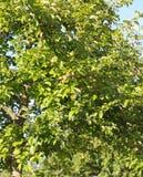 Δέντρο της Apple Στοκ Φωτογραφία