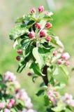 Δέντρο της Apple brunch με τους οφθαλμούς Στοκ Φωτογραφία