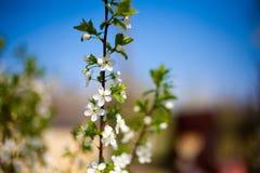 Δέντρο της Apple brunch Στοκ εικόνες με δικαίωμα ελεύθερης χρήσης
