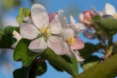 Δέντρο της Apple, domestica Malus Στοκ Εικόνες