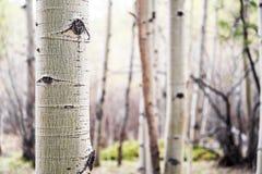 Δέντρο της Aspen στο δάσος του Κολοράντο Στοκ Εικόνες