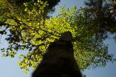 Δέντρο της Aspen Στοκ Εικόνες