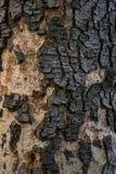 Δέντρο της Cassia Στοκ Εικόνες