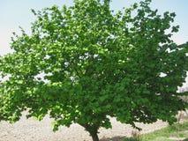 Δέντρο της Hazel με τα πράσινα φύλλα Στοκ φωτογραφία με δικαίωμα ελεύθερης χρήσης