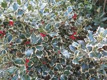 Δέντρο της Holly με τα κόκκινα μούρα Στοκ φωτογραφία με δικαίωμα ελεύθερης χρήσης