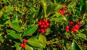 Δέντρο της Holly με τα μέρη των κόκκινων μούρων με το καλό φως Στοκ Εικόνες
