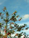 Δέντρο της Holly Στοκ Εικόνα