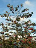 Δέντρο της Holly Στοκ φωτογραφίες με δικαίωμα ελεύθερης χρήσης