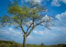 Δέντρο του Άρνεμ Στοκ φωτογραφία με δικαίωμα ελεύθερης χρήσης