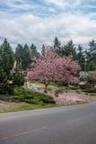 Δέντρο 2 τουλιπών στοκ εικόνες
