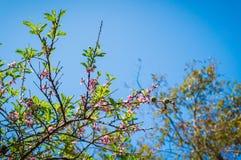 Δέντρο του λουλουδιού ανθών ροδάκινων Στοκ Εικόνες