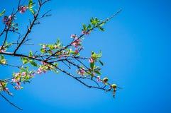 Δέντρο του λουλουδιού ανθών ροδάκινων Στοκ Φωτογραφία