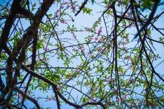 Δέντρο του λουλουδιού ανθών ροδάκινων Στοκ Φωτογραφίες