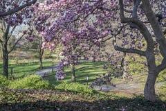 Δέντρο του Central Park Magnolia στοκ φωτογραφίες