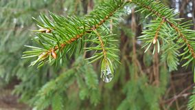 Δέντρο του FIR μετά από τη βροχή Στοκ Εικόνες