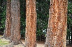 Δέντρο του FIR Ντάγκλας Στοκ Φωτογραφίες