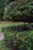 Δέντρο του FIR το μέσο τμήμα που αποκόπτει με στοκ εικόνα