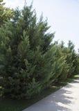 Δέντρο του FIR Στοκ φωτογραφία με δικαίωμα ελεύθερης χρήσης