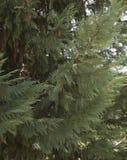 Δέντρο του FIR Στοκ Φωτογραφίες