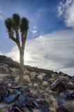 Δέντρο του Joshua, κοιλάδα θανάτου, ασβέστιο Στοκ Φωτογραφίες