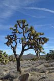 Δέντρο του Joshua στο εθνικό πάρκο δέντρων του Joshua, ασβέστιο στοκ φωτογραφία με δικαίωμα ελεύθερης χρήσης
