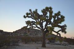 Δέντρο του Joshua Στοκ εικόνα με δικαίωμα ελεύθερης χρήσης