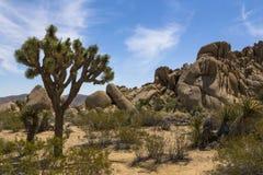 Δέντρο του Joshua Στοκ φωτογραφίες με δικαίωμα ελεύθερης χρήσης