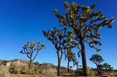 Δέντρο του Joshua Στοκ Φωτογραφίες