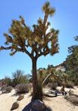 Δέντρο του Joshua Στοκ φωτογραφία με δικαίωμα ελεύθερης χρήσης