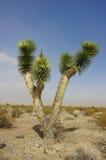 Δέντρο του Joshua Στοκ Φωτογραφία