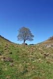 δέντρο του Robin κουκουλών στοκ φωτογραφία με δικαίωμα ελεύθερης χρήσης