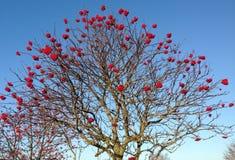 Δέντρο του Rowan με τα μούρα στοκ εικόνες