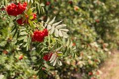 Δέντρο του Rowan με τα ώριμα πορτοκαλιά rowanberry φρούτα Στοκ φωτογραφίες με δικαίωμα ελεύθερης χρήσης