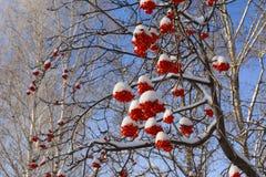 Δέντρο του Rowan με τις δέσμες των κόκκινων μούρων κάτω από το χιόνι καλυμμένα όρη σπιτιών ελβετικά χειμερινά δάση χιονιού σκηνής στοκ εικόνες