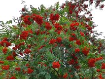 Δέντρο του Rowan με το κόκκινο μούρο σορβιών Στοκ εικόνα με δικαίωμα ελεύθερης χρήσης