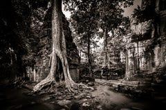 Δέντρο του TA Prohm, Angkor Wat Στοκ εικόνες με δικαίωμα ελεύθερης χρήσης