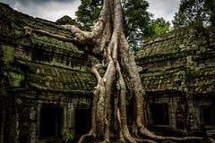 Δέντρο του TA Prohm, Angkor Wat Στοκ Εικόνες
