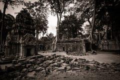Δέντρο του TA Prohm, Angkor Wat Στοκ Φωτογραφία