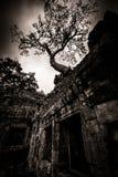 Δέντρο του TA Prohm, Angkor Wat Στοκ Εικόνα