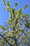 Δέντρο τρία της Apple Στοκ εικόνες με δικαίωμα ελεύθερης χρήσης