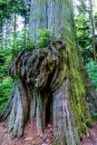 Δέντρο τροπικών δασών με την ενδιαφέρουσα μεγάλη με κόμπους αύξηση Στοκ Φωτογραφίες