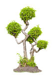 δέντρο τσαγιού μπονσάι Στοκ εικόνες με δικαίωμα ελεύθερης χρήσης