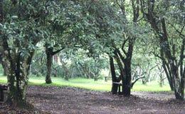 Δέντρο τσαγιού Στοκ Φωτογραφίες