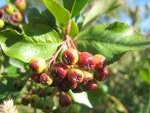 Δέντρο υπηρεσιών και κόκκινα μούρα Στοκ εικόνα με δικαίωμα ελεύθερης χρήσης