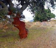 Δέντρο φελλού με το φλοιό αφαιρούμενο αποκάλυψη του κόκκινου κορμού κάτω από στοκ εικόνες