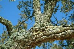 δέντρο φελλού Στοκ Εικόνα